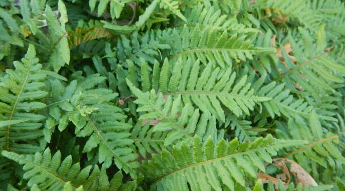 What's Eating The Licorice Fern