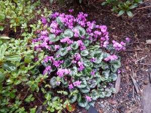 hardy cyclamen coum, persian violet, eastern sowbread, round-leaf cyclamen, C. coum, Cyclamen orbiculatum, garden Victoria, Vancouver Island, BC, Pacific Northwest