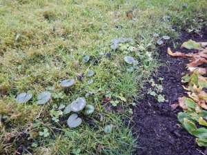 hardy cyclamen coum, persian violet, eastern sowbread, round-leaf cyclamen,C. coum garden Victoria, Vancouver Island, BC, Pacific Northwest