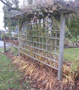 winter jasmine, winter-flowered jasmine, jasminum nudifolium, Jasminum sieboldianum, garden Victoria, Vancouver Island, BC, Pacific Northwest