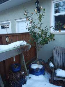 Camellia japonica apple blossom, Joy Sander, Camellia sasanqua,, garden Victoria, Vancouver Island, BC, Pacific Northwest