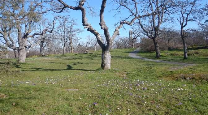 Summit Park Crocus Meadow
