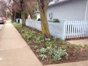 galanthus, snowdrops, garden Victoria BC Pacific Northwest