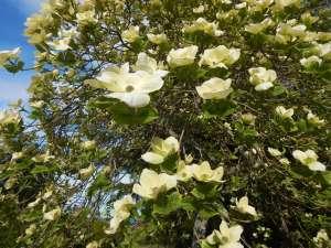 Dogwood Eddie's White Wonder tree in bloom, garden Victoria, Vancouver Island, BC Pacific Northwest