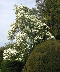 Dogwood Eddie's White Wonder tree in bloom, Cornus controversa 'Eddie's White Wonder' Cornus nuttallii 'Eddies White Wonder', garden Victoria, Vancouver Island, BC Pacific Northwest