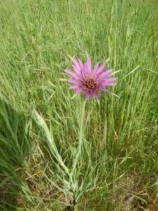 Tragopogon porrifolius, common salsify, purple salsify, oyster plant, vegetable oyster, Jerusalem star, Jack go to bed, goatsbeard,