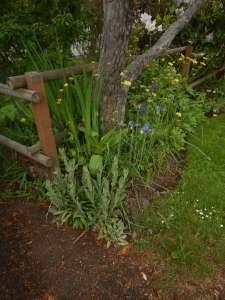 Doronicum, Caucasian Leopard's Bane, Great Leopard's Bane, Plantain Leopard's Bane, leopard's-bane, garden Victoria, Vancouver Island, BC Pacific Northwest