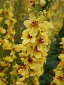 verbascum, garden Victoria BC Pacific Northwest