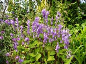 Campanula rapunculoides, creeping bellflower, Bluebell weed, rampion bellflower, rover bellflower, European bellflower, garden Victoria BC Pacific Northwest
