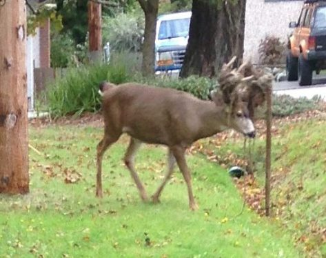 cu Deer Antlers vs fencing 1