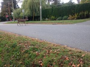 ms Deer Antlers vs fencing 3