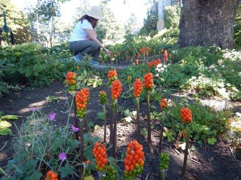 Arum Italicum, orange candleflower, lords and ladies, cuckoo's pint, Italian lily, Italian arum, garden Victoria BC Pacific Northwest