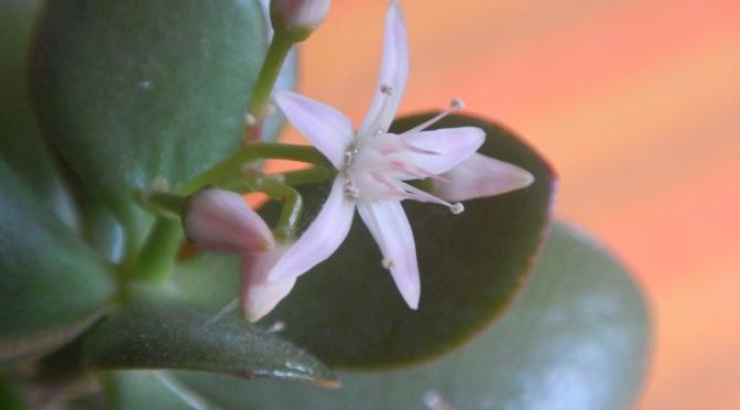 Jade Tree Blooming