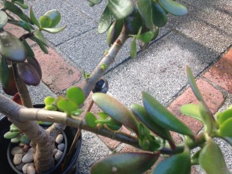 Jade plant, Crassula ovata, Crassula portulacea, Crassula argentea, Jade plant, jade tree, money plant, money tree, succulent, friendship tree, garden Victoria BC Pacific Northwest