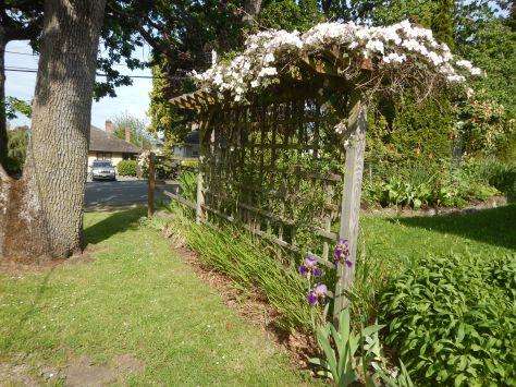 build a privacy trellis, Cematis montana, garden Victoria BC Pacific Northwest