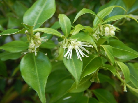sweetbox blooming in January, Scented Sarcococca, sweetbox, sweet box, Sarcococca ruscifolia, Sarcococca confusa, Sarcococca hookeriana, Sarcococca humilis, Christmas box, winter vanilla plant, January bloom, garden Victoria BC Pacific Northwest