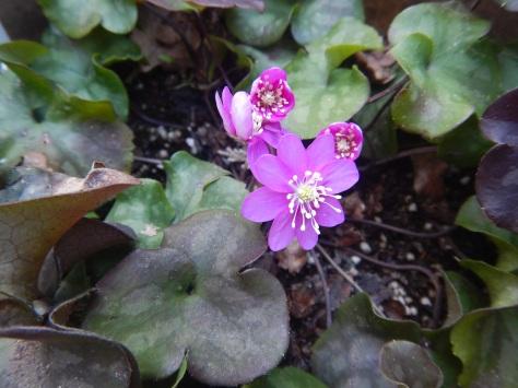 Hepatica, ica January bloom,common hepatica, liverleaf, liver leaf liverwort, hepatica nobilis var. obtusa, round-lobed hepatica, garden Victoria BC Pacific Northwest