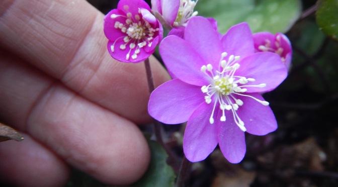 Winter Blooming Hepatica