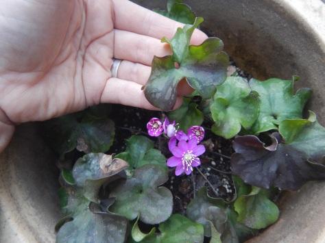 Hepatica, common hepatica, liverleaf, liver leaf liverwort, hepatica nobilis var. obtusa, round-lobed hepatica, garden Victoria BC Pacific Northwest