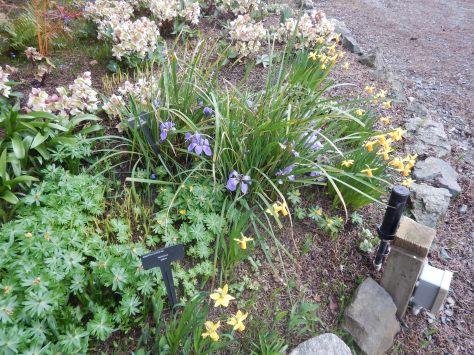 iris unguicularis, winter blooming allgerian iris, winter iris, Iris stylosa, Joniris stylosa, Neubeckia stylosa, Siphonostylis unguicularis, garden Victoria BC Pacific Northwest