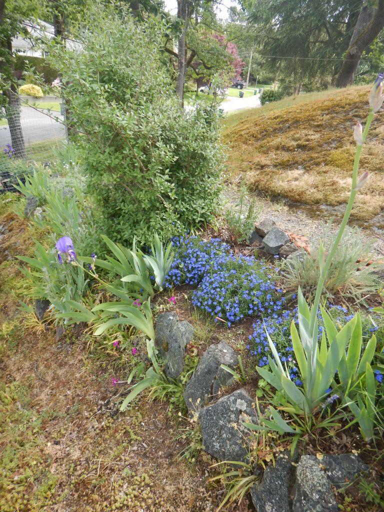 Lithodora diffusa, lithospermum diffusum, glandora diffusa, purple groundwell, garden Victoria BC Pacific Northwest