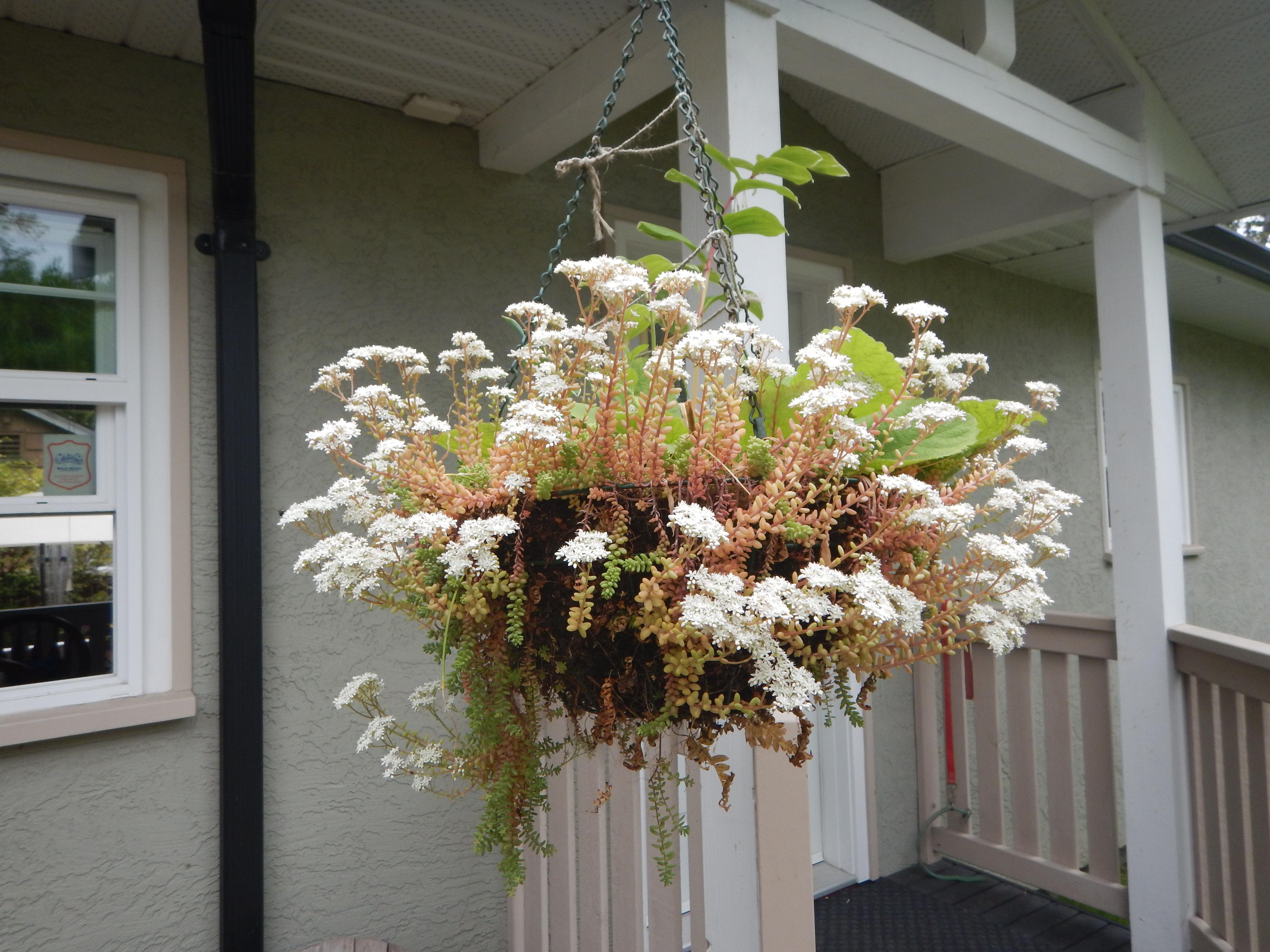 Sedum album hanging basket, white stonecrop, Oreosedum album, small house leek