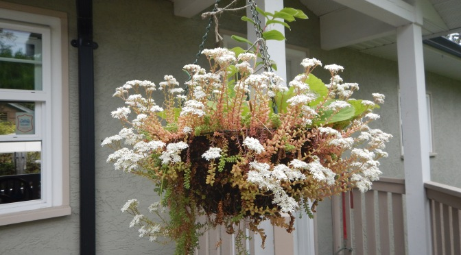 White Stonecrop Hanging Basket