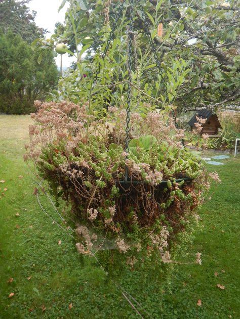 Sedum album hanging basket, white stonecrop, Oreosedum album, small house leek, garden Victoria, Vancouver Island, BC, Pacific Northwest